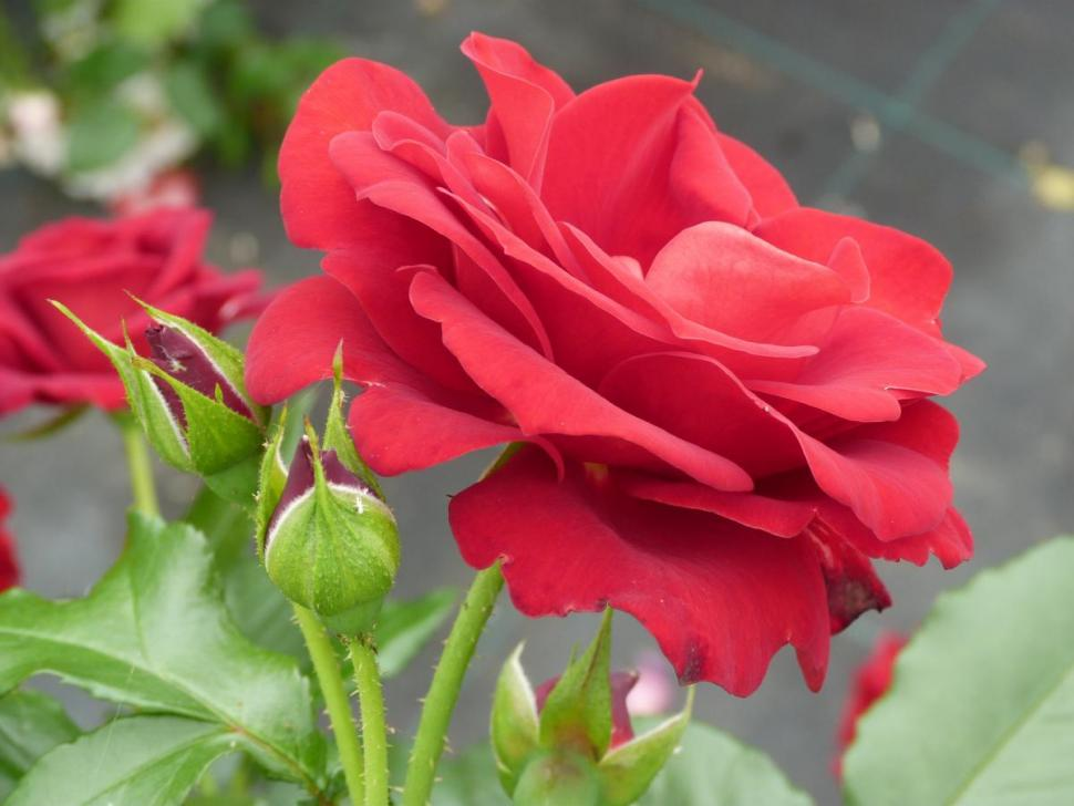 Rose de Bellegarde
